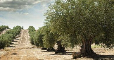 Roban casi 1000 kilos de aceitunas en el pago 'Las Magallanas' de Arahal